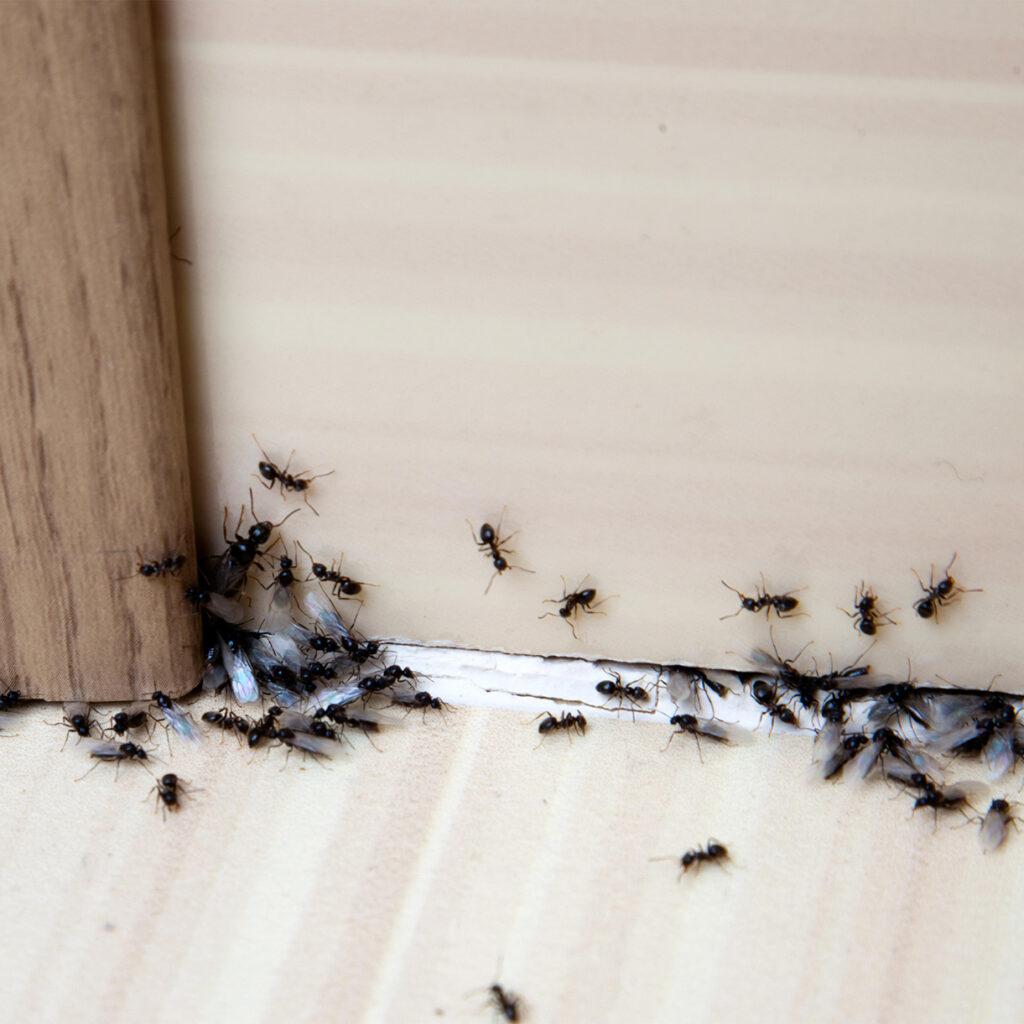 Myrer i huset kan være en plage for mange husejere